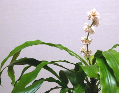 (幸福の木の花, dracaena bloom, blooms, flower, flowers)