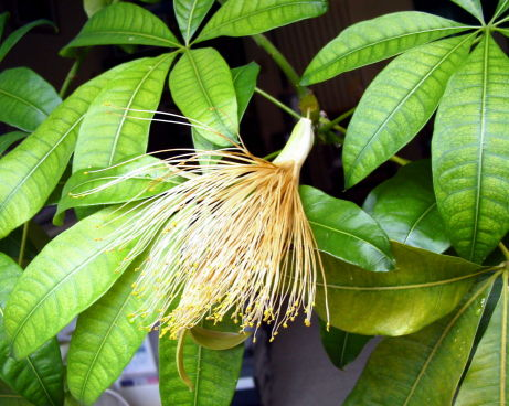 [写真]パキラの花,ギアナクリ,カイエンヌナッツ,pachira aquatica, Shaving-brush tree,Cayenne nut,pachira flower,pachira bloom,photo